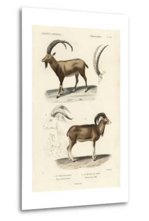 Antique Antelope and Ram Study-N^ Remond-Metal Print