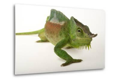 A Four-Horned Chameleon, Chamaeleo Quadricornis, at the Fort Worth Zoo-Joel Sartore-Metal Print