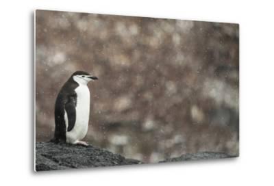 A Chinstrap Penguin, Pygoscelis Antarctica, in a Light Snow Shower-Kent Kobersteen-Metal Print