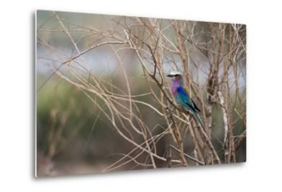 A Lilac-Breasted Roller, Coracias Caudatus, Perching on a Tree Branch-Sergio Pitamitz-Metal Print