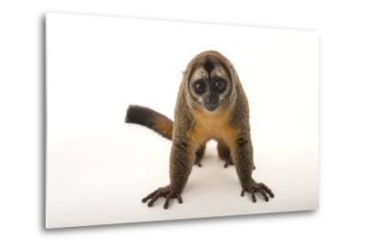 A Nancy Ma's Night Monkey, Aotus Nancymaae, at the Dallas World Aquarium-Joel Sartore-Metal Print
