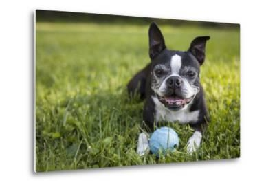 A Senior Boston Terrier Plays with a Ball in Her Backyard-Hannele Lahti-Metal Print