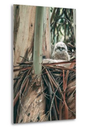 Baby Great Horned Owl in Eucalyptus, Berkeley California-Vincent James-Metal Print
