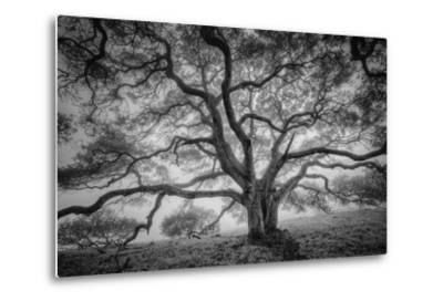 Majestic Old Oak, Black and White, Petaluma Northern California-Vincent James-Metal Print