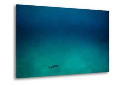 Cocos Island, Costa Rica: A White Tip Reef Shark Cruises the Sandy Bottom-Ben Horton-Metal Print
