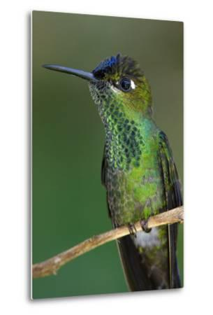 A Violet-Fronted Brilliant Hummingbird, Heliodoxa Leadbeateri, Perched on a Twig-Bertie Gregory-Metal Print