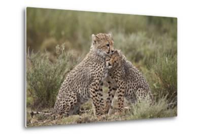 Cheetah (Acinonyx Jubatus) Cubs, Serengeti National Park, Tanzania, East Africa, Africa-James Hager-Metal Print