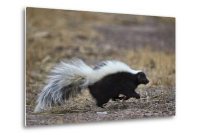 Striped Skunk (Mephitis Mephitis), Bosque Del Apache National Wildlife Refuge, New Mexico, Usa-James Hager-Metal Print