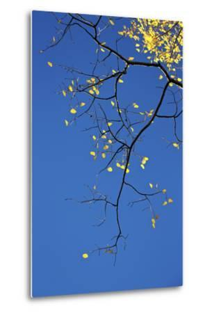 Yellow Aspen Leaves Against a Blue Sky in the Fall, Grand Mesa National Forest, Colorado, Usa-James Hager-Metal Print