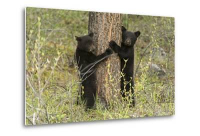 Black Bear Cubs, Ursus Americanus, Hug a Tree While Looking for their Mother-Barrett Hedges-Metal Print