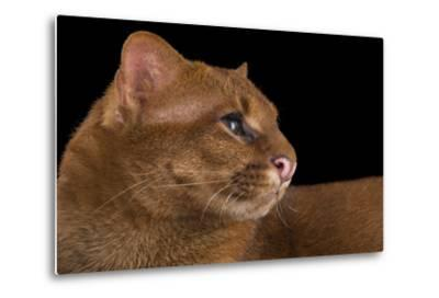 A Federally Endangered Jaguarundi, Puma Yagouaroundi, at Bear Creek Feline Center-Joel Sartore-Metal Print
