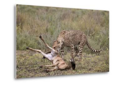 Male Cheetah (Acinonyx Jubatus) Killing a Newborn Blue Wildebeest (Brindled Gnu) Calf-James Hager-Metal Print