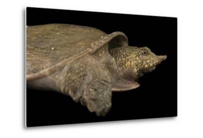 A Vulnerable Southeast Asian Softshelled Turtle-Joel Sartore-Metal Print