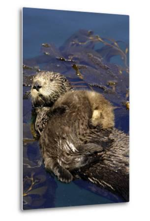 A Sea Otter Pup, Enhydra Lutris, Resting on its Mother's Stomach in a Kelp Bed-Jeff Wildermuth-Metal Print