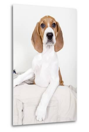 Portrait of an Adorable Coon Hound Puppy, Available for Adoption-Hannele Lahti-Metal Print
