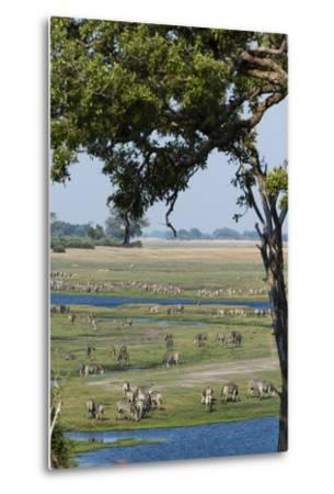 Burchell's Zebras (Equus Burchelli), Chobe National Park, Botswana, Africa-Sergio Pitamitz-Metal Print