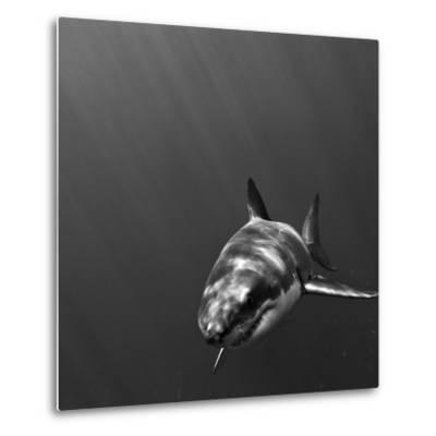 Portrait of a Great White Shark, Carcharodon Carcharias, Swimming-Jeff Wildermuth-Metal Print