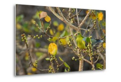 An African Green Pigeon Eating Fruits in a Tree-Erika Skogg-Metal Print