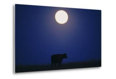 Silhouette of a Cow Against the Night Sky Below the Moon-Michael Forsberg-Metal Print