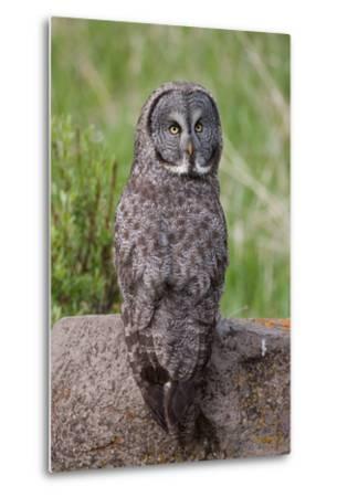 A Great Gray Owl Perches on a Log-Tom Murphy-Metal Print