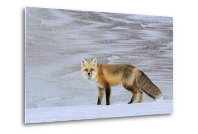 A Red Fox on the Snow-Tom Murphy-Metal Print