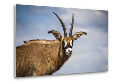 Roan Antelope (Hippotragus Equinus), Nyika National Park, Malawi, Africa-Michael Runkel-Metal Print