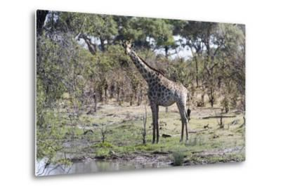 Southern Giraffe (Giraffa Camelopardalis), Khwai Concession, Okavango Delta, Botswana, Africa-Sergio Pitamitz-Metal Print