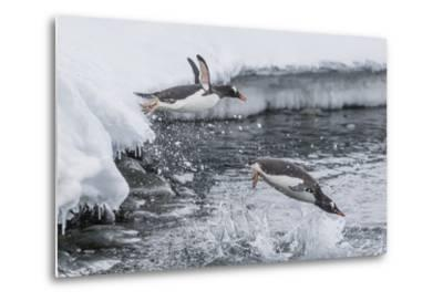 Gentoo Penguins (Pygoscelis Papua) Leaping into the Sea at Booth Island, Antarctica, Polar Regions-Michael Nolan-Metal Print