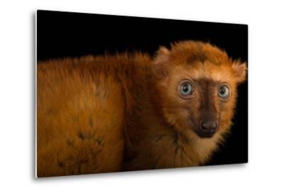 A Female, Critically Endangered Blue-Eyed Black Lemur, Eulemur Flavifrons, at the Duke Lemur Center-Joel Sartore-Metal Print