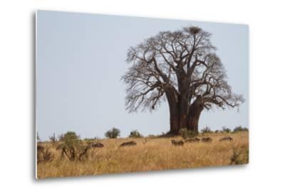 Zebras Grazing Near a Large Baobab Tree-Erika Skogg-Metal Print