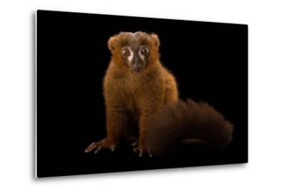 A Male Red-Bellied Lemur, Eulemur Rubriventer, at the Duke Lemur Center-Joel Sartore-Metal Print