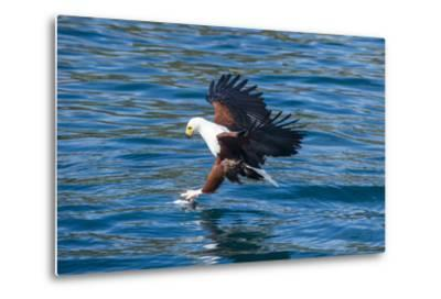 African Fish Eagle (Haliaeetus Vocifer) Hunting Fish, Cape Maclear, Lake Malawi, Malawi, Africa-Michael Runkel-Metal Print