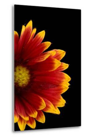 A Fire Wheel Flower, Gaillardia Pulchella-Joel Sartore-Metal Print