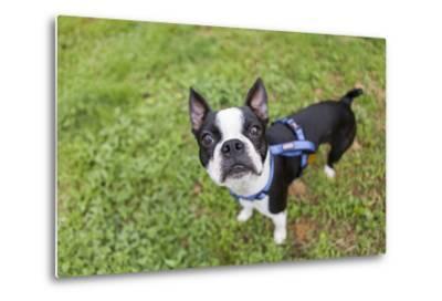 Portrait of a Pet Boston Terrier, Looking at the Camera-Hannele Lahti-Metal Print