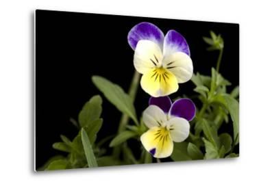 Viola or Sweet Violet Flowers, Viola Odorata-Joel Sartore-Metal Print