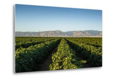 Vineyards in San Joaquin Valley, California, United States of America, North America-Yadid Levy-Metal Print