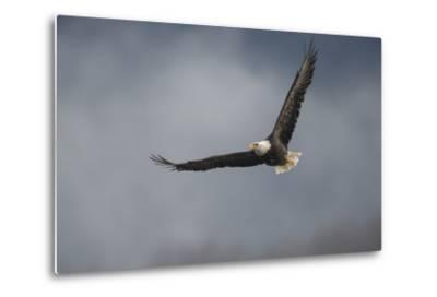 Portrait of a Bald Eagle, Haliaeetus Leucocephalus, in Flight-Bob Smith-Metal Print