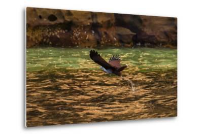 A Brahminy Kite, Heliaster Indus, in Flight Near Porosus Creek in the Kimberley Region-Ralph Hopkins-Metal Print