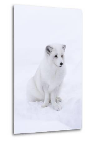 Portrait of an Arctic Fox, Vulpes Lagopus, Sitting in the Snow-Sergio Pitamitz-Metal Print