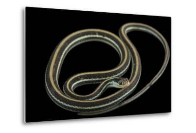 An Eastern Ribbon Snake, Thamnophis Sauritus Sauritus-Joel Sartore-Metal Print