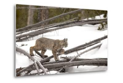 A Bobcat, Lynx Rufus, Walking Through a Snowy Landscape-Robbie George-Metal Print