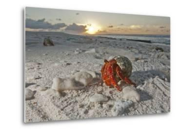 A Hermit Crab Crawls on a Sandy Beach on the Deserted Starbuck Island in the Southern Line Islands-Mauricio Handler-Metal Print