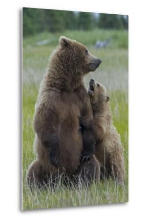 A Grizzly Bear Cub, Ursus Arctos Horribilis, Shows its Teeth to its Mother-Barrett Hedges-Metal Print