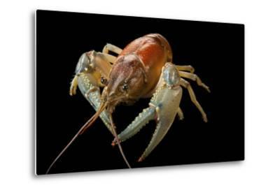 A Virile Crayfish, Orconectes Virilis, from Leech Lake in Minnesota-Joel Sartore-Metal Print