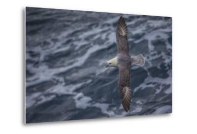 A Sea Gull Flies Alongside a Boat En Route to Franz Josef Land-Cory Richards-Metal Print
