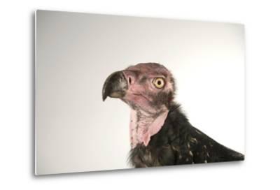 A Critically Endangered Pondicherry Vulture, Sarcogyps Calvus, at the Palm Beach Zoo-Joel Sartore-Metal Print
