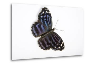 A Mexican Bluewing Butterfly, Myscelia Ethusa, at the Minnesota Zoo-Joel Sartore-Metal Print