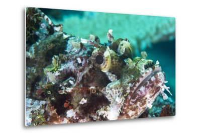 Tassled Scorpionfish (Smallscale Scorpionfish) (Scorpaenopsis Oxycephala)-Louise Murray-Metal Print