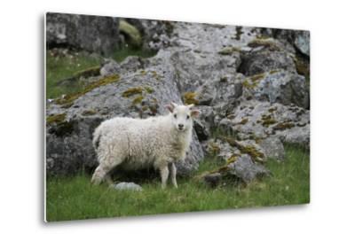 Portrait of an Icelandic Sheep-Erika Skogg-Metal Print