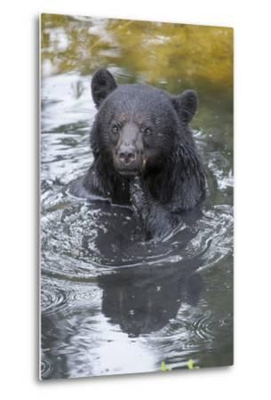 A Black Bear, Ursus Americanus, Scratches Himself While in a Pool of Water-Barrett Hedges-Metal Print